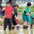 写真: 被災水田で実れ交流 ボランティア経験者を招き田植え体験会・気仙沼