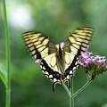 アゲハ蝶②