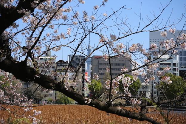 IMG_3866   北斎風桜とスカイツリー?第二弾