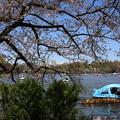 Photos: IMG_3863      定番不忍池の桜