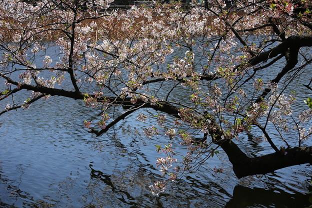 IMG_3874      水面に桜が映る