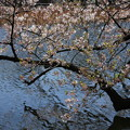Photos: IMG_3874      水面に桜が映る