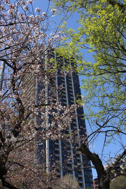 IMG_3865    都会の桜は見頃をすぎて・・・