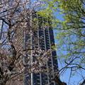 Photos: IMG_3865    都会の桜は見頃をすぎて・・・