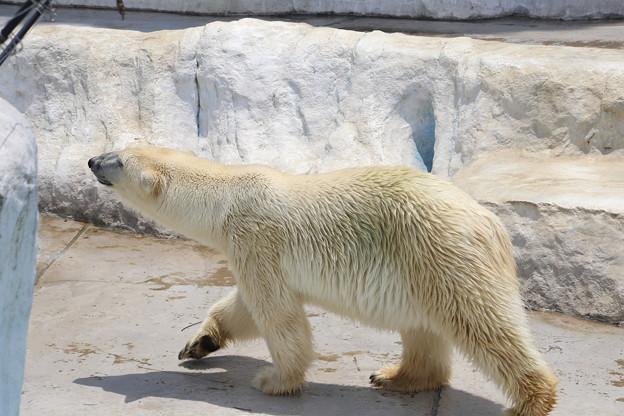 IMG_7188    ♪♪北極熊行進曲♪♪