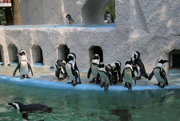 IMG_2677  ケープペンギン達