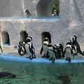 Photos: IMG_2677  ケープペンギン達
