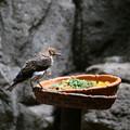 Photos: IMG_3601  シロハラムクドリ