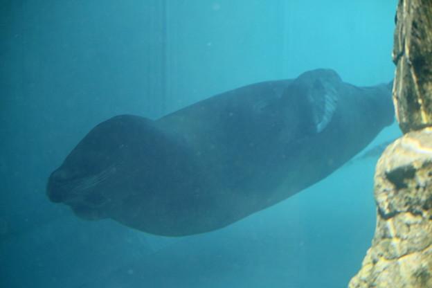IMG_3618_1 アシカの潜水を見る-2