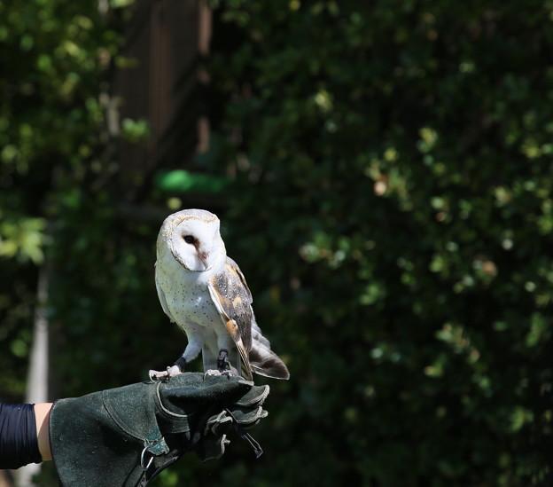 IMG_5542 【働く鳥達】 メンフクロウ