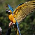 IMG_5618【働く鳥達】 ルリコンゴウインコ