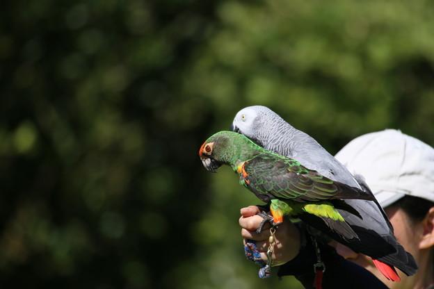 IMG_5628【働く鳥達】 ズアカハネナガインコ