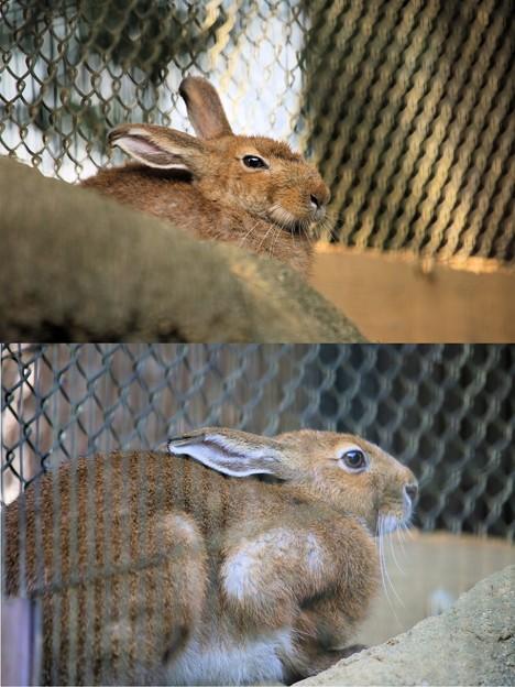 IMG_5334 トウホクノウサギ