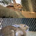 Photos: IMG_5334 トウホクノウサギ