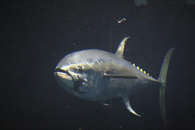 IMG_7305 お高いお魚、ヨダレがーー
