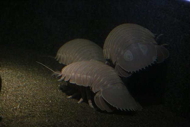 IMG_7142  深海のダンゴムシ?(オオグソクムシ)