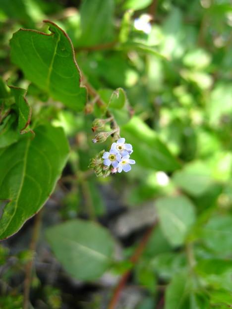 胡瓜草(ムラサキ科)