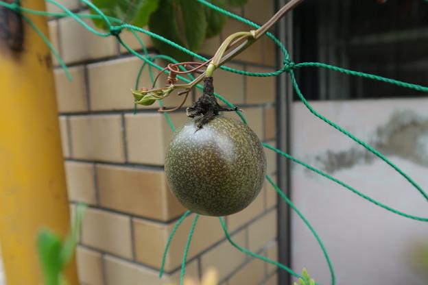 トケイソウの果実かな?