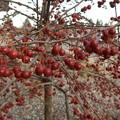 バラ科リンゴ属? 庭木