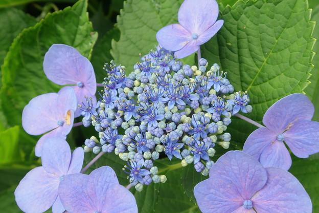 エゾアジサイ -三分咲き