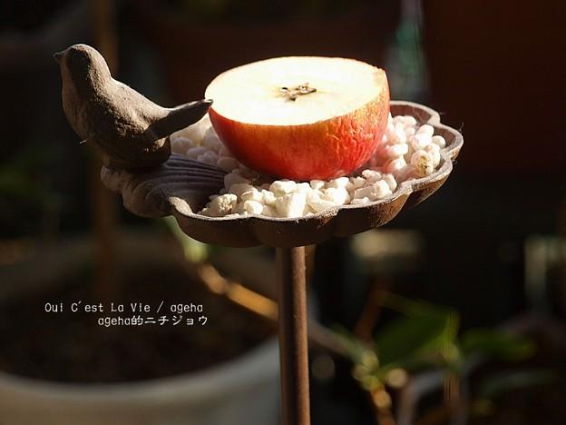 ヒヨにリンゴをあげてみる。(ヒヨドリ)