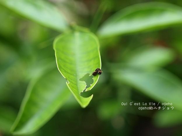 Photos: 雨ニモマケズ(アゲハ若齢幼虫)