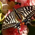 まれに見る美少女。2017越冬蛹羽化(ナミアゲハ飼育)