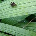 写真: 雨に唄えば。(セセリ)