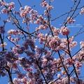 Photos: 早咲き満開。