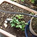 柚子湯の柚で育つ。(ナミアゲハ飼育)