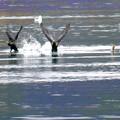写真: 川鵜の羽ばたき