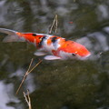 写真: 鯉