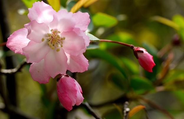 花海棠開花