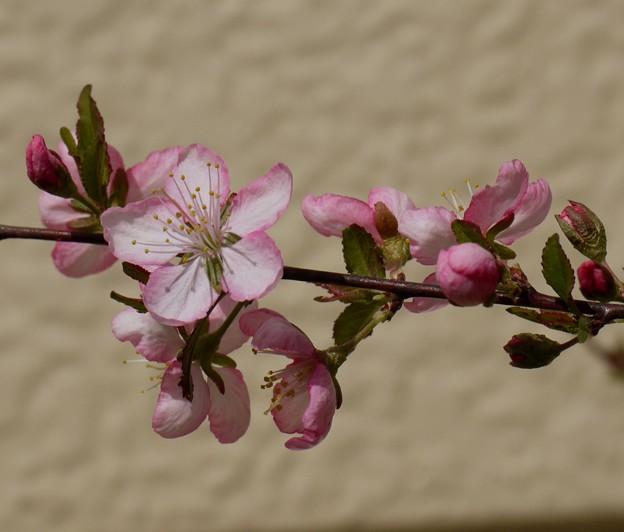 ユスラ梅の花