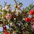 写真: 木瓜の花