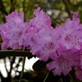 写真: 那谷寺の石楠花