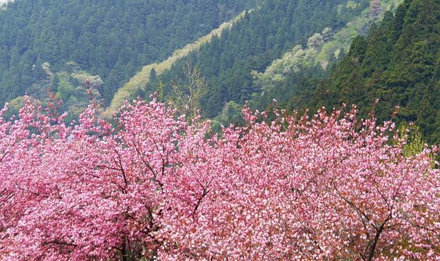 八重桜と新緑の山