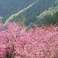 写真: 八重桜と新緑の山