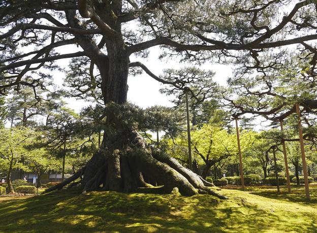 写真: 根上がりの松