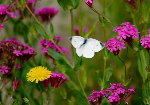蝶と虫とり撫子