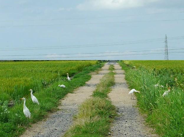 農道にアマサギ