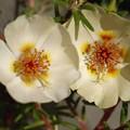 写真: 松葉牡丹