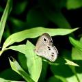 写真: ヒメウラナミ蝶