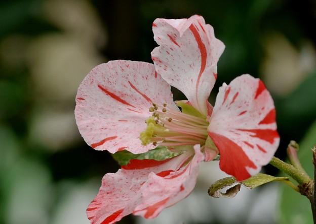 絞りの木瓜の花