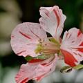 写真: 絞りの木瓜の花