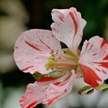 Photos: 絞りの木瓜の花