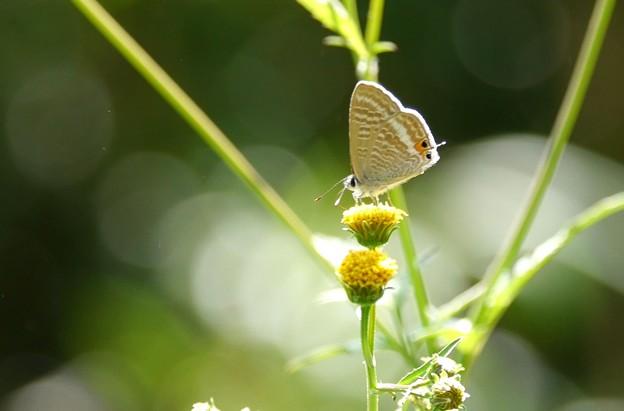 ウラナミシジミ蝶