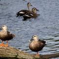 写真: 鴨の日向ぼっこ