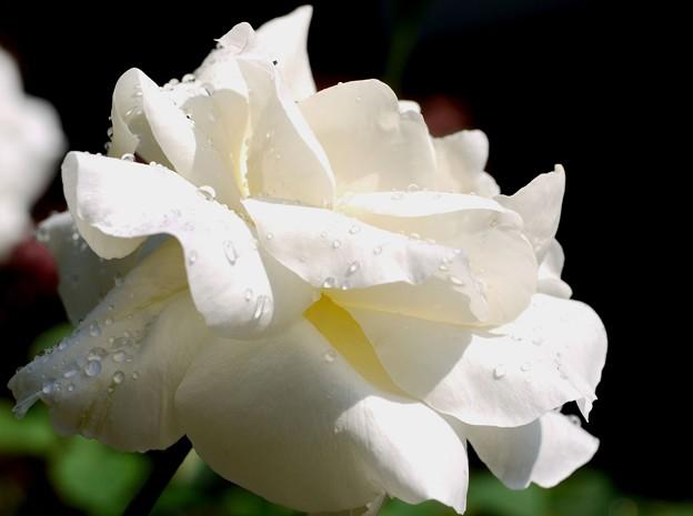 写真: 雨上がりの薔薇