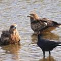 写真: 鳶の幼鳥とカラス